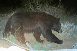 A remote-control camera captured this image of a black bear at Tonto National Monument in 2009.