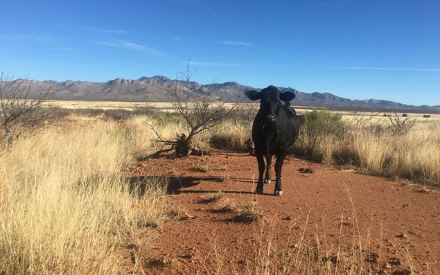 A cow grazing on the Ladd Ranch in Arizona which borders Mexico. The ranch has been owned by the Ladd family since 1896.