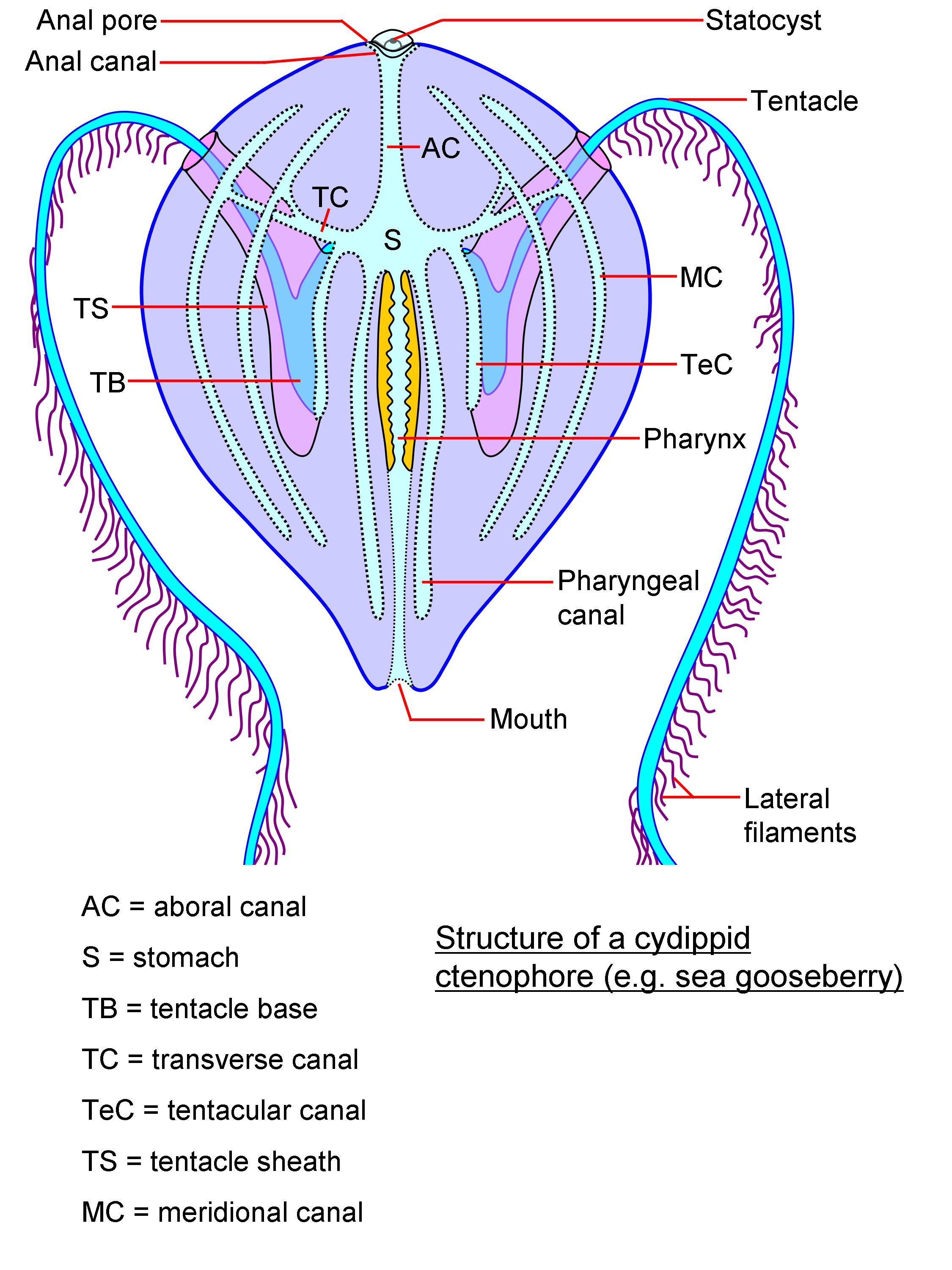 Image result for Ctenophore