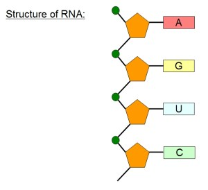 Ribosomes