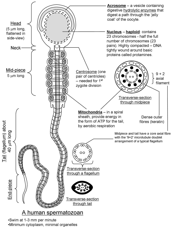 Cells Motility 2