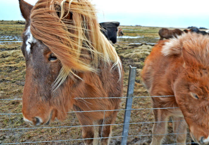 pretty iceland horses on a windy day