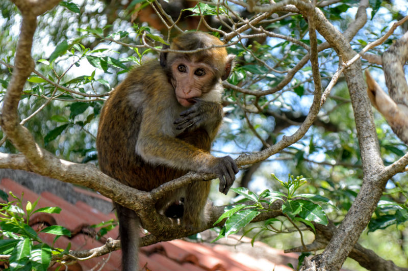 temple monkey in sri lanka by eileen cotter wright