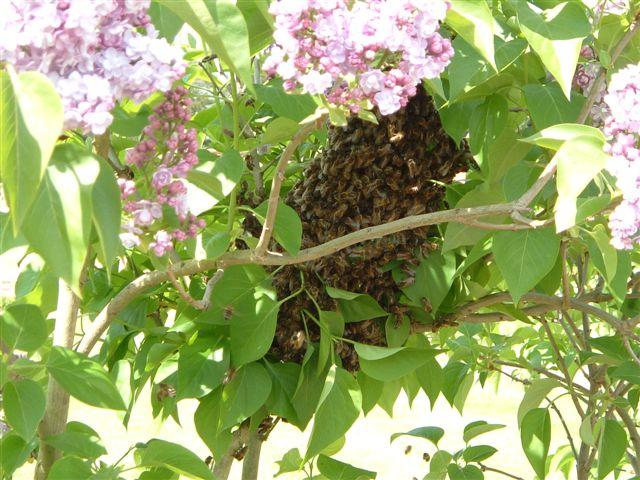 2005-may-11-bees-2