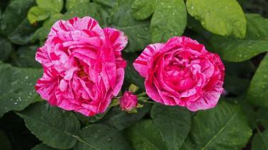 Rose garden 4