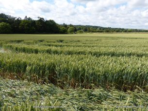 Tichborne, Hampshire 24 June 2016. Wheat. c.180 feet (55m) Nest of concentric crescents eccentrically place within large circle.