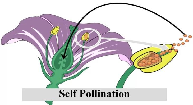 Self Pollination