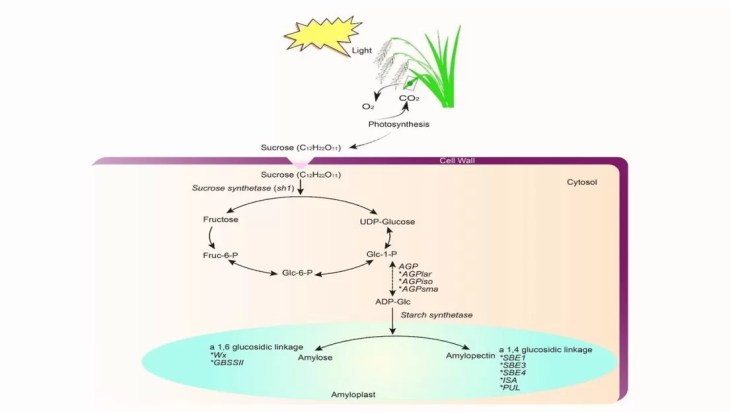 Exploring The Mechanisms Behind Starch Biosynthesis In Plants