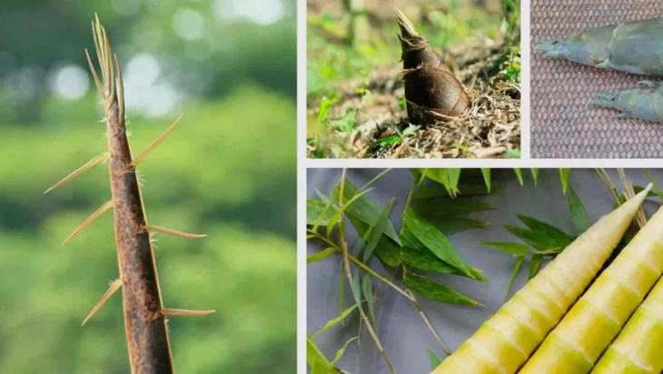 Bamboo Shoots Source Of Nutrition And Employment
