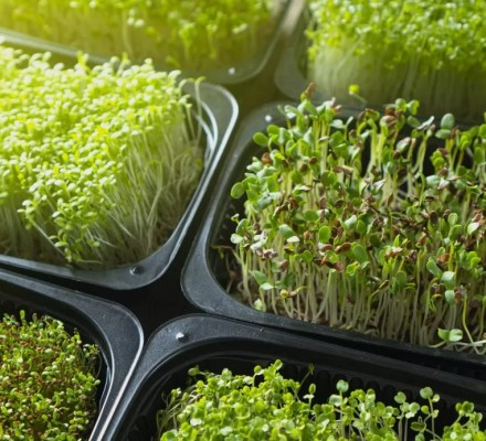 microgreens and consumers