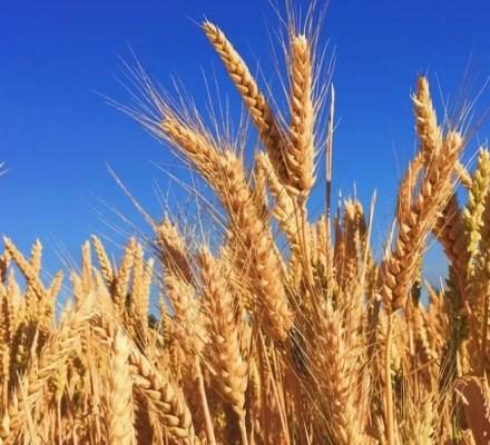 Rare Barley Mutation