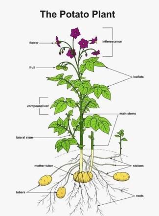 Botanical Description of Potato