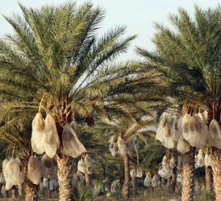 Dates Farming In Balochistan