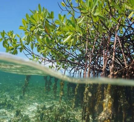Non-Native Mangrove Trees