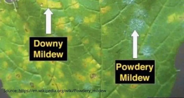 What's The Difference Between Powdery and Downey Mildew - Cropnuts