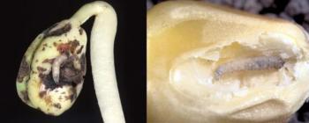 seedcorn maggot injury to soybean and corn