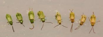 Northern corn rootworm.