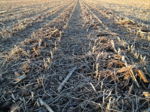 No-till corn/soybean rotation in Dodge County