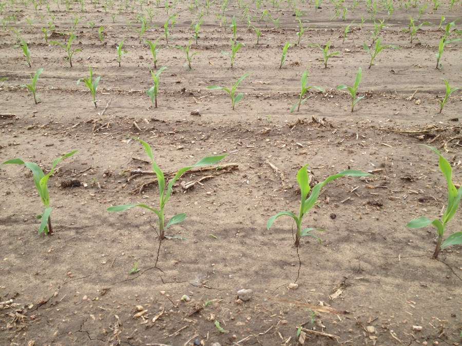 Figure 10. Replanted corn at the V2 growth stage