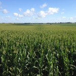 Dodge County Crop Condition Report – July 14