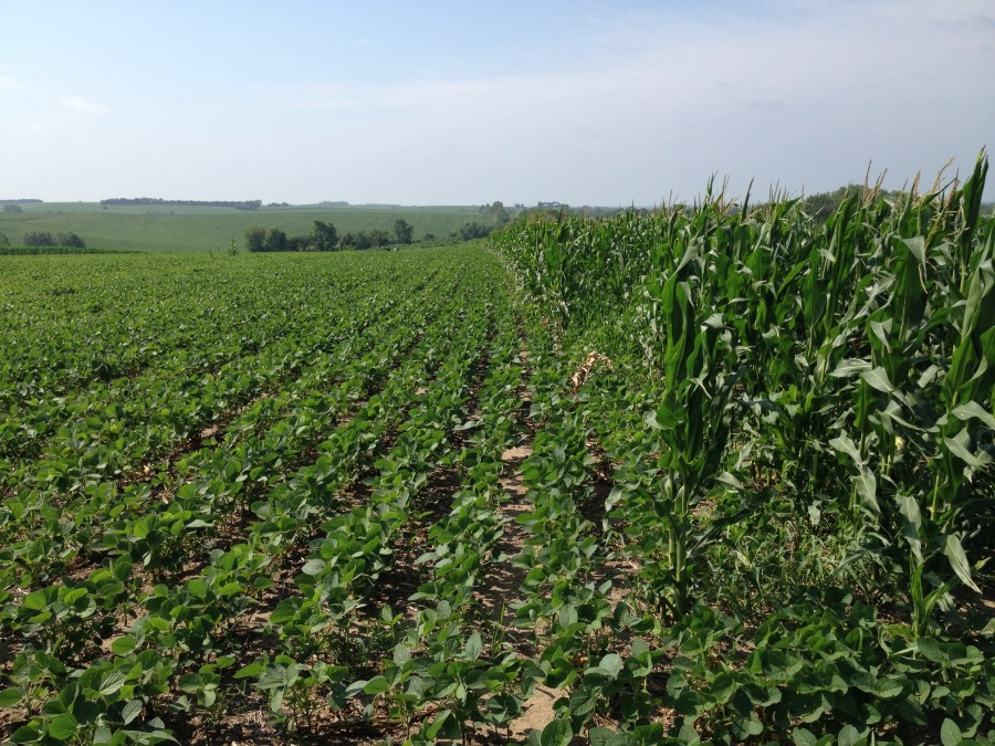Figure 14. Soybeans replanted after the abandoned corn crop is starting to bloom.