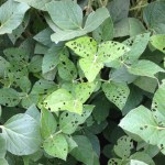 Dodge County Crop Condition Report – Aug. 4