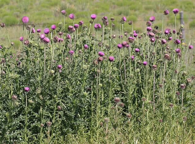 musk thistle blooming