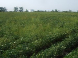 Fig 1. Common waterhemp in soybean field