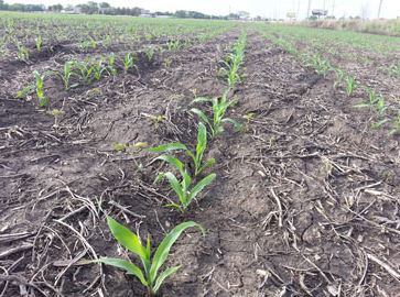 seedling corn