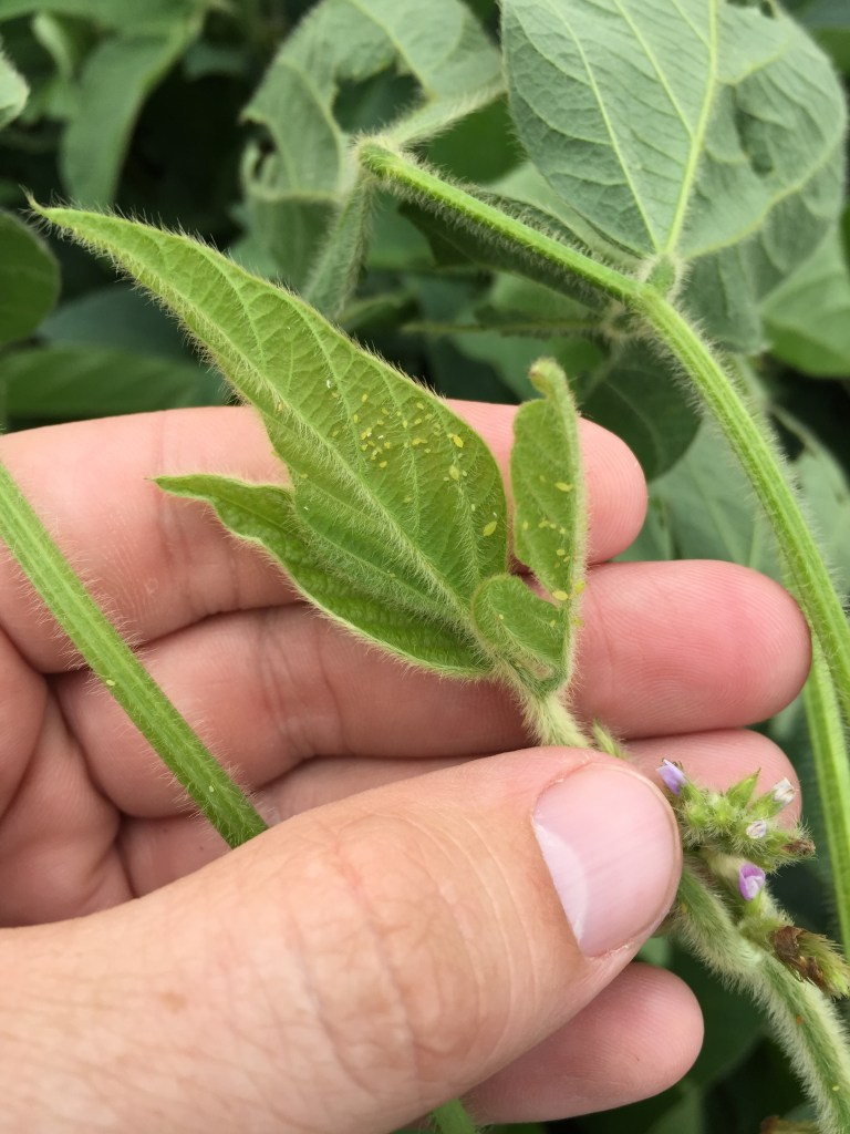 Soybean aphids on new leaf