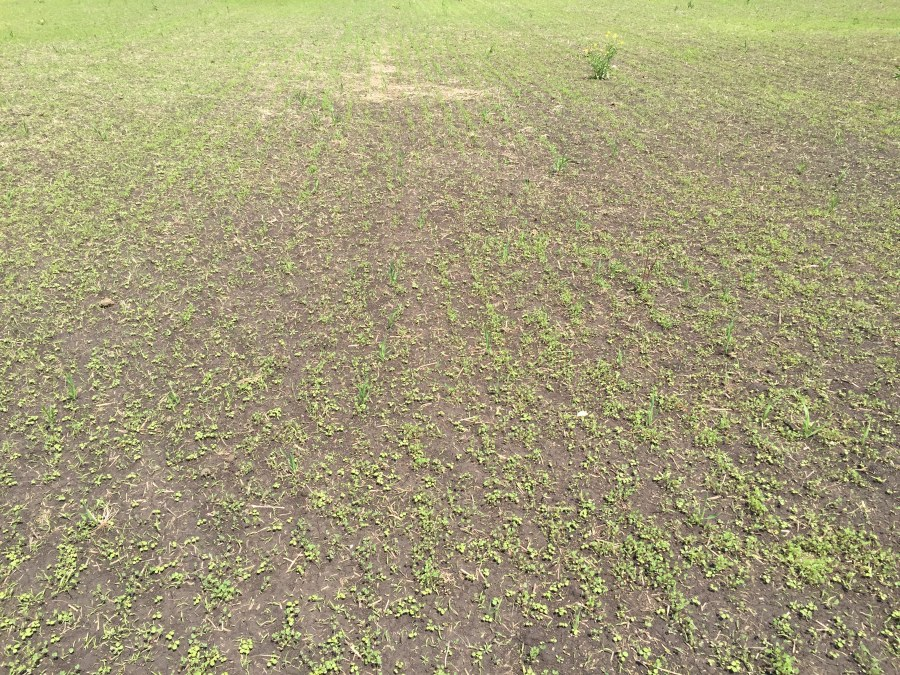 Stop 11: A tilled seedbed for this stand establishment of this new seeding alfalfa . Generally we overseed alfalfa and the stand self-thins during the first year down to 9 to 12 plants per square foot.