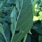 KTIC Radio Extension Corner: Scouting for Soybean Aphids