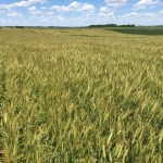 KTIC Radio Extension Corner: Winter Wheat in Eastern Nebraska