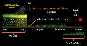 Graph of increased disease risk of pre-harvest volunteer wheat