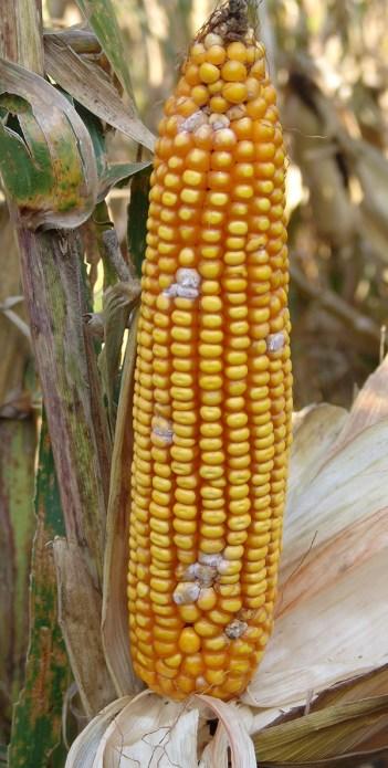 Gibberella on corn ear tip