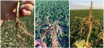 Photos of soybean nodulation at the three research sites
