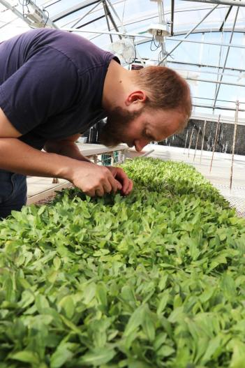 Lawrence examining a tray of rubber dandelion plants in the greenhouse