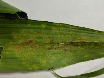 Southern rust symptoms on a corn leaf