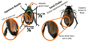 Comparison of Japanese beetle and sand chafer characteristics