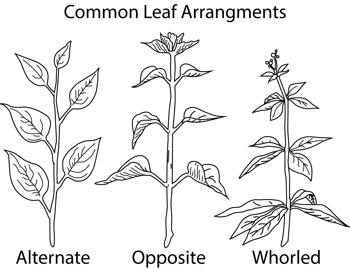Weeds Dicot