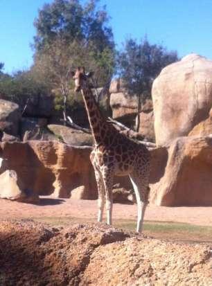 Giraffe - Girafe