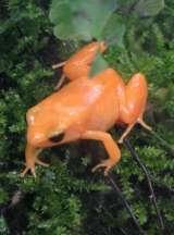 Tomato frog (or golden poison dart frog) - Kokoï de Colombie