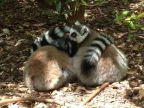 Ring-tailed lemur - Maki catta