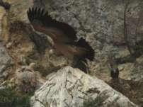 vautour fauve couple 2-800