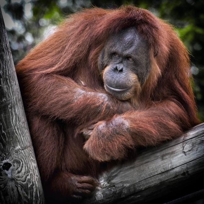 Indonesia orangutan conservation