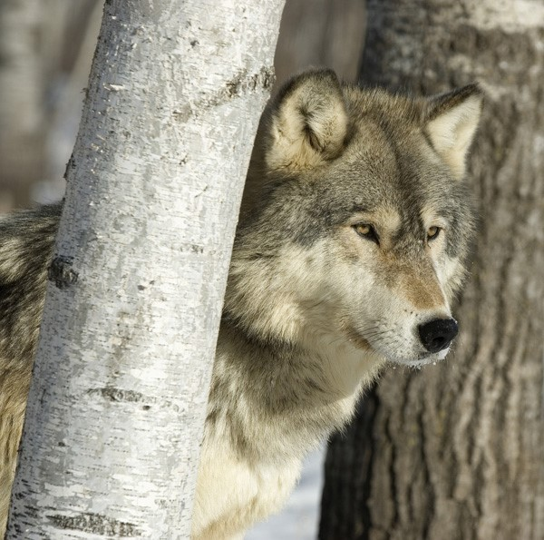 wolf conservation and recovery