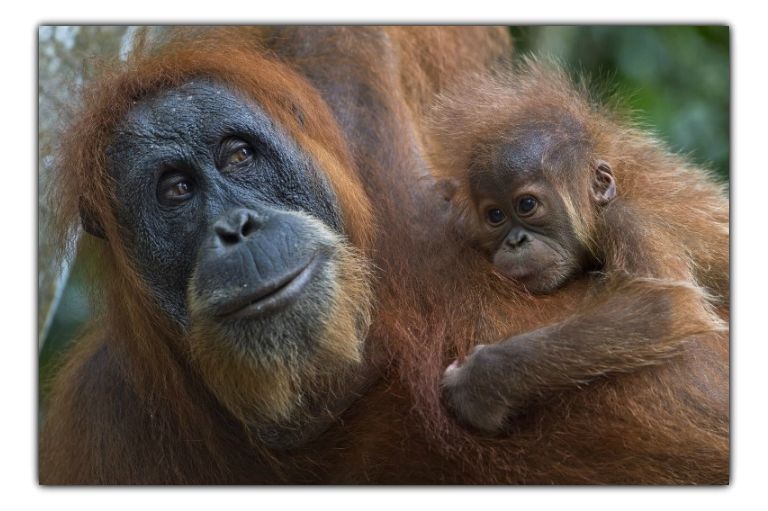 orangutan conservation and forest conservation