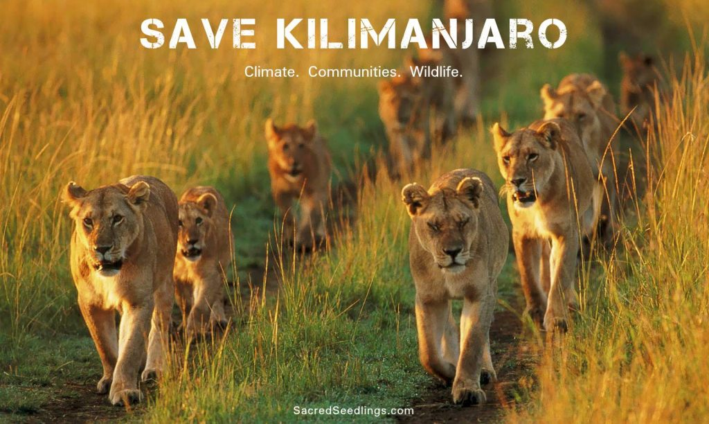 lion conservation campaign