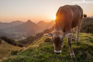 Kuh in der Morgensonne auf dem Spieser