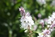 Derwent Speedwell (Derwentia derwntiana)